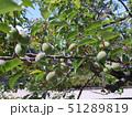 梅の木と青梅 51289819