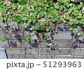 ウサギゴケの葉と花 51293963