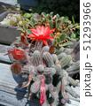 ヒモサボテンの赤い花 51293966