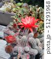 ヒモサボテンの赤い花 51293968