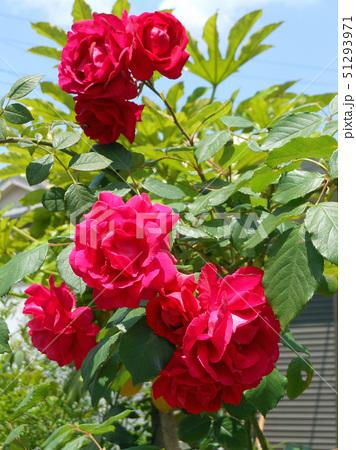 大輪の赤いバラ 51293971