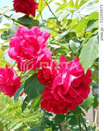 大輪の赤いバラ 51293973