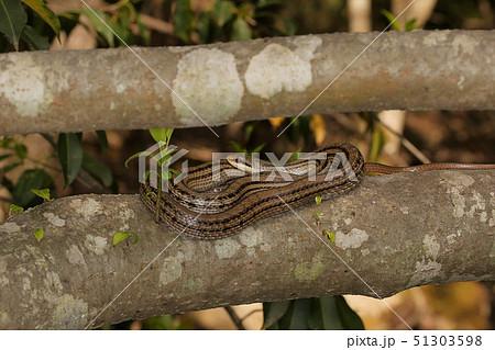 シマヘビ、木の上でとぐろを巻く 51303598