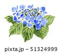 ガクアジサイ19522pix7 51324999