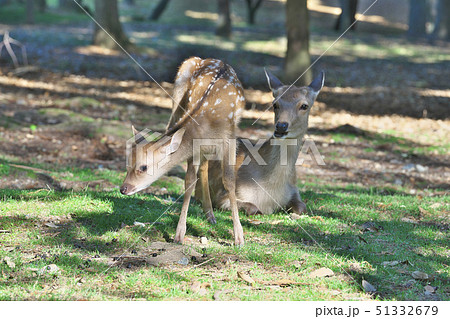 奈良公園の子鹿 51332679