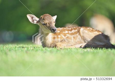 奈良公園の子鹿 51332694