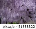 藤 花 植物の写真 51333322