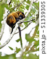 お休み中の木登りカンガルー 51339305
