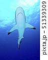サメのおなか 51339309