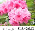 シャクナゲ 咲く 石楠花の写真 51342683