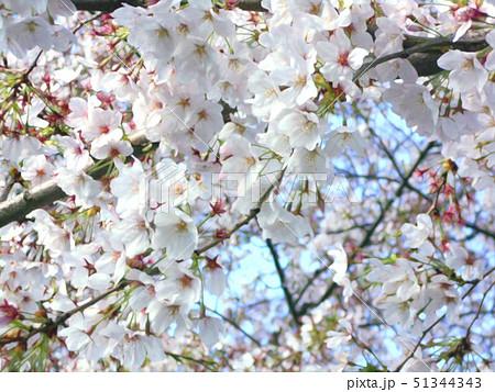 桜の枝と花 51344343
