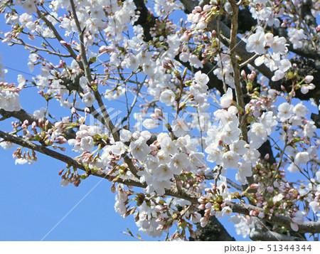 桜の枝と花 51344344