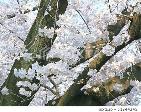 桜の枝と花 51344345