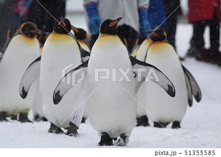 ペンギンの行進 51355585