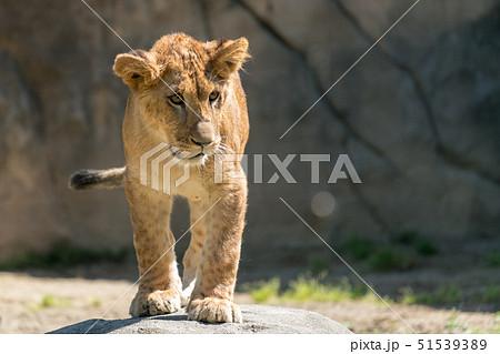 子どものライオン 51539389