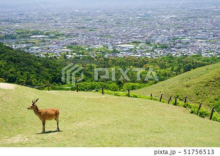 奈良・五月・若草山頂上の小鹿1 51756513