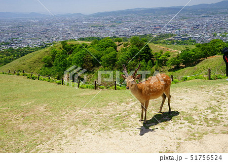 奈良・五月・若草山頂上の小鹿3 51756524