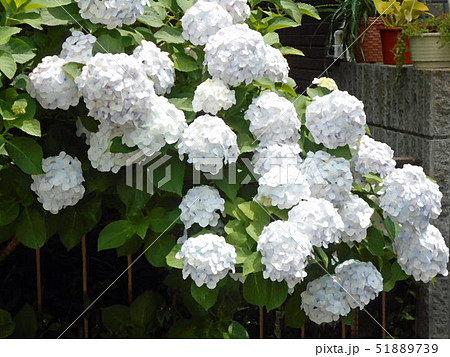白の紫陽花 51889739