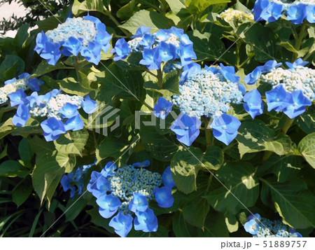 青の額紫陽花 51889757