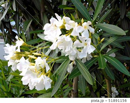白のキョウチクトウの花 51891156