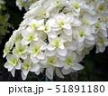 カシワバアジサイの花 51891180