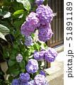 紫の紫陽花 51891189