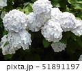 白の紫陽花 51891197