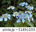 水色の額紫陽花 51891203