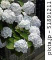 白の紫陽花 51891211