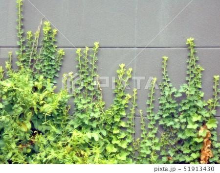 壁に登るヤブカラシの蔓 51913430