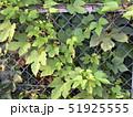 フェンスにからみつくヤブカラシ 51925555
