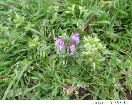 道端に咲くホトケノザの紫色の花 52393405