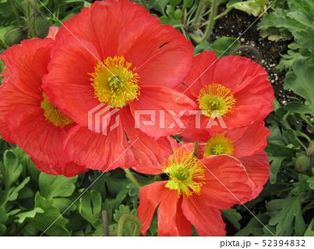 アイスランドポピーの赤い花 52394832