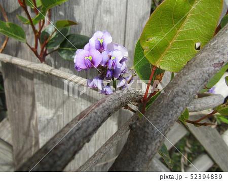 小さい欄の様に綺麗な紫色の花はルーデンベルギアの花 52394839