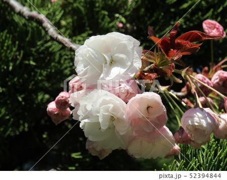 八重の桜は遅咲きのサクラ 52394844