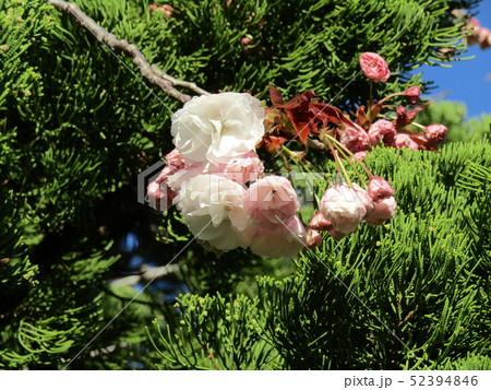 八重の桜は遅咲きのサクラ 52394846