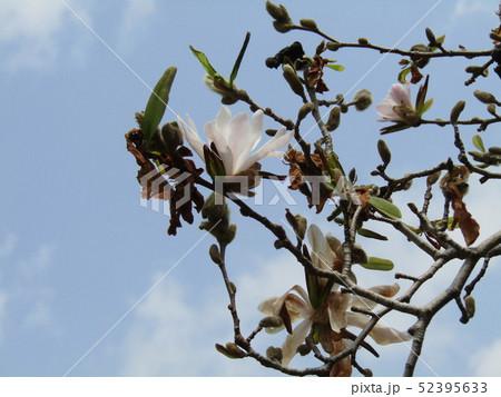 花びら細かく切れてるシデコブシの白い花 52395633
