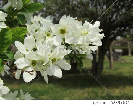 この白い花は昭和の森のリキュウバイ 52395634