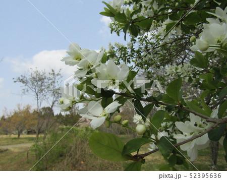 この白い花は昭和の森のリキュウバイ 52395636