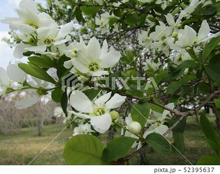 この白い花は昭和の森のリキュウバイ 52395637