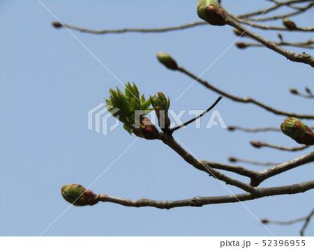 冬芽の先端に卵型の芽、その中に葉芽と花芽有ったベニバナトチノ 52396955