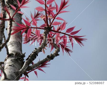 チャンチンの4月の若葉は綺麗な桃色 52398007