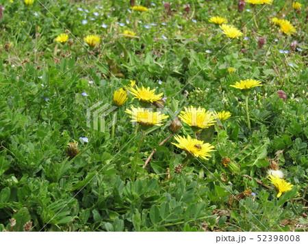 関東タンポポの黄色い花 52398008