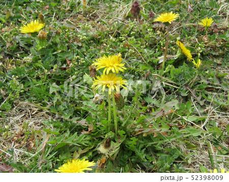 関東タンポポの黄色い花 52398009
