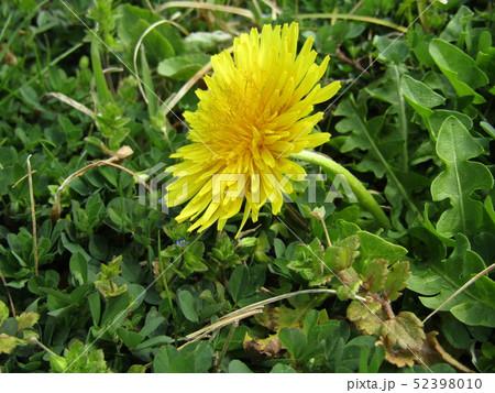 関東タンポポの黄色い花 52398010