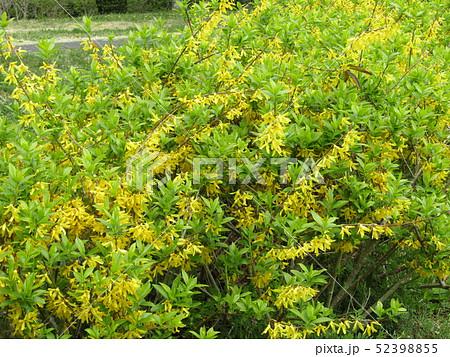昭和の森のレンギョウの黄色い小さい花 52398855