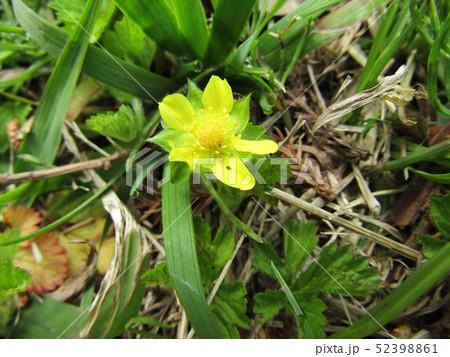 ヘビイチゴの黄色い花 52398861