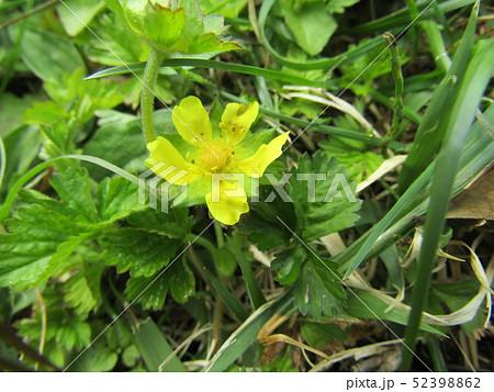 ヘビイチゴの黄色い花 52398862
