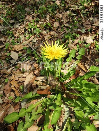 関東タンポポの黄色い花 52398863