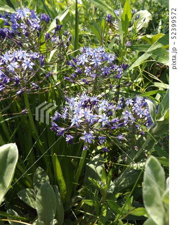 星型の小花を傘型に付けるオオツルボの紫色の花 52399572